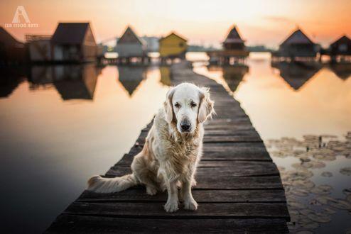 Обои Пес породы золотистый ретривер сидит на мостике, фотограф Iza Lyson