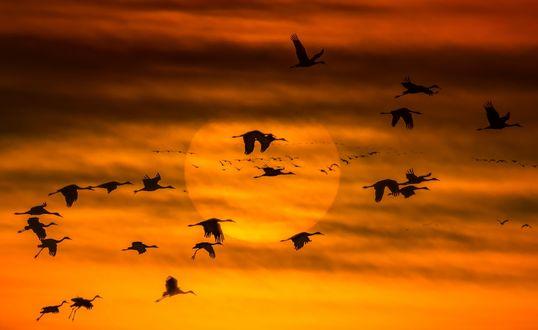 Обои Стая перелетных птиц, летящих на фоне яркого диска закатного солнца и подсвеченных оранжево-желтых облаков