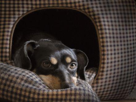 Обои Черная собачья мордочка выглядывает из клетчатого тканевого домика