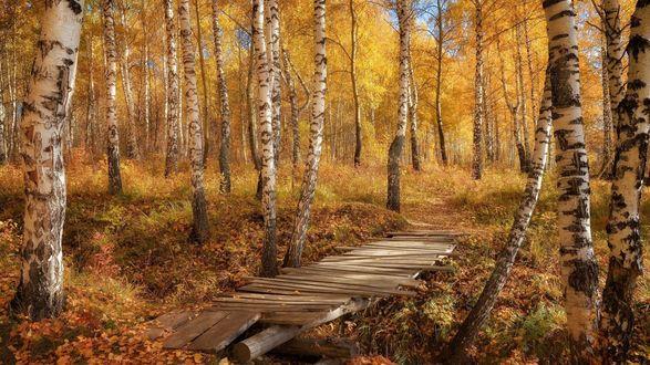 Обои Деревянный мостик в осенней березовой роще