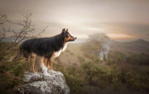 Обои Собака стоит на пригорке, на фоне природы