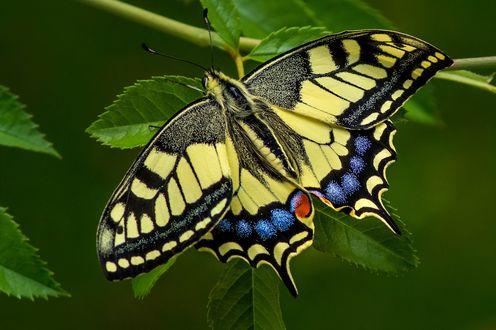 Обои Бабочка на листке, фотограф Thomas Ruf