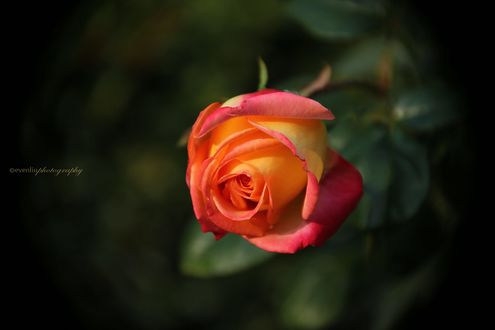 Обои Розово-желтая роза, фотограф Even Liu