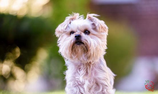 Обои Болоньез - порода декоративных миниатюрных собак