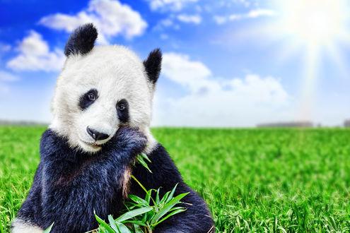 Обои Панда о чем - то грустит и жует зеленые листочки