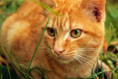 Обои Рыжий кот в зеленой траве