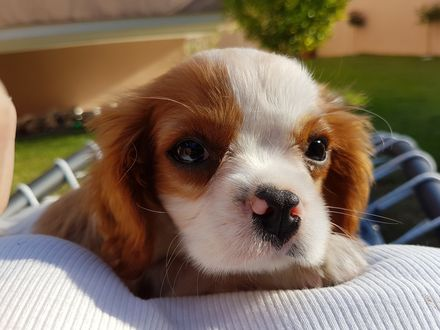 Обои Симпатичный бело-рыжий щенок опустил мордочку на подушку