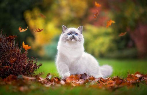 Обои Кошка породы рэгдолл смотрит на опадающие осенние листья