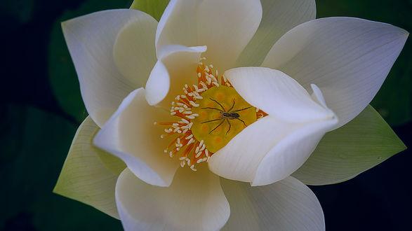 Обои Белый лотос крупным планом, фотограф Tuаn Nguyеn