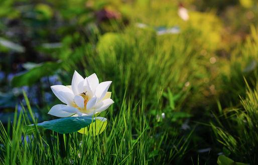 Обои Белый лотос в зеленой траве, фотограф Tuаn Nguyеn