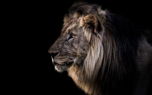 Обои Лев в профиль на черном фоне