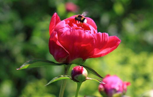 Обои На розовом пионе сидит пчела, фотограф SlawaHelios