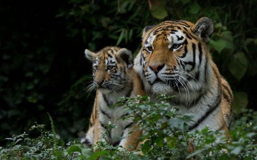 Обои Тигрица с тигренком сидят на опушке леса на цветущей полянке