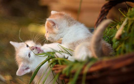 Обои Два бело-рыжих котенка играют в корзинке с травой на размытом фоне