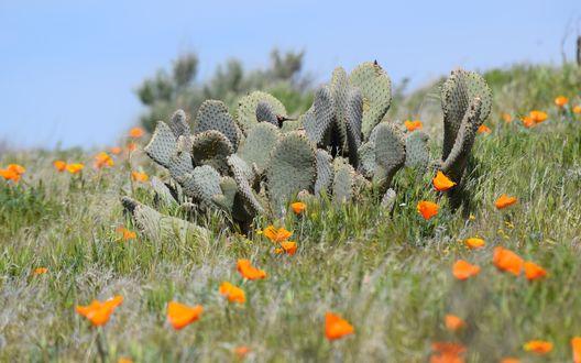 Обои Дикие кактусы и желтые маки в полупустыне в Калифорнии