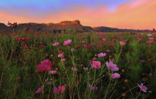 Обои Цветы космеи под вечерним облачным небом, by Mark van Vuuren