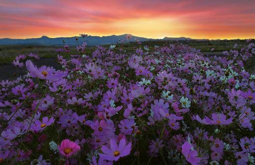 Обои Цветы космеи под небом на закате, by Mark van Vuuren