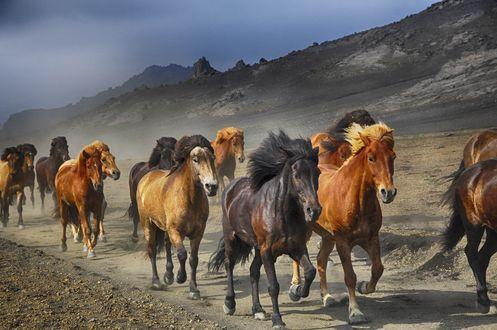 Обои Бегущий табун лошадей