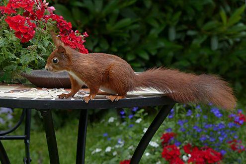 Обои Белка среди цветов на столике в саду, размытый фон