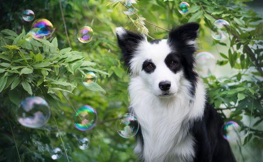 Обои Пес породы Бордер-колли у куста, в окружении мыльных пузырей