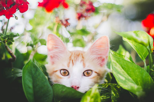Обои Красивый бело-рыжий котенок в окружении цветов