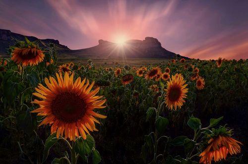 Обои Солнце освещает поле с подсолнухами, фотограф Mark van Vuuren
