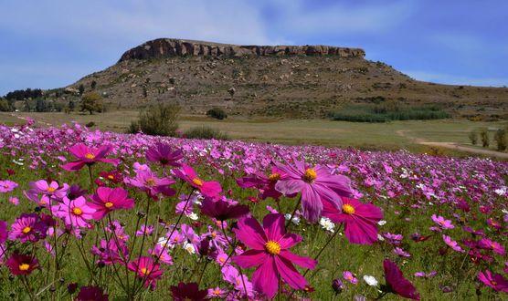 Обои Поле цветов космеи перед горой, by Mark van Vuuren