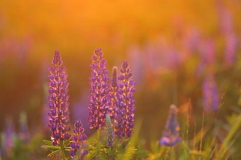 Обои Люпиновый закат, Фотограф Александр Гвоздь