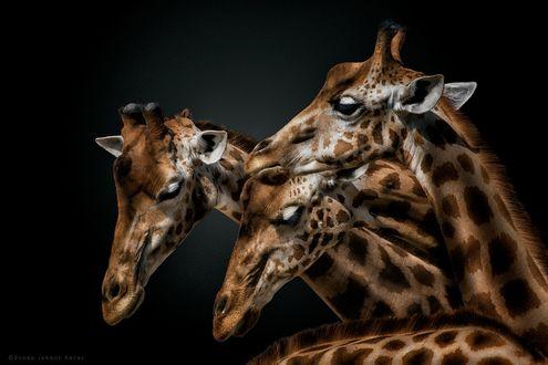 Обои Три жирафа рядом друг с другом, фотограф Pedro Jarque Krebs