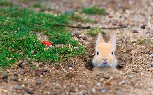 Обои Остров диких кроликов Окуносима, Япония, одичавший домашний кролик выглядывает из норки