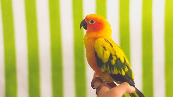 Обои Попугай в руке на фоне ярких обоев
