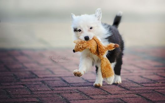 Обои Черно-белый щенок тащит в пасти игрушку лисы