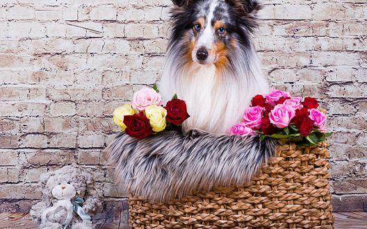 Обои Собака породы австралийская овчарка сидит в плетеной корзине с букетами разных роз