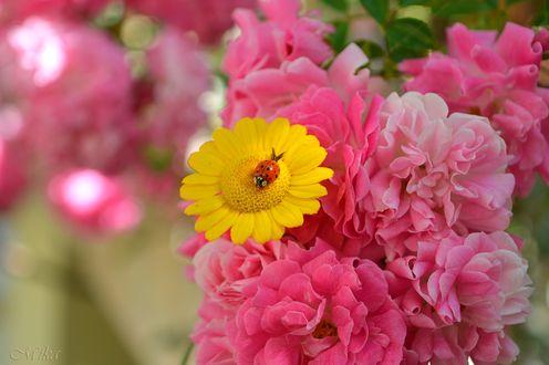 Обои Божья коровка сидит на желтом цветке с розовыми розами, by MamaMika