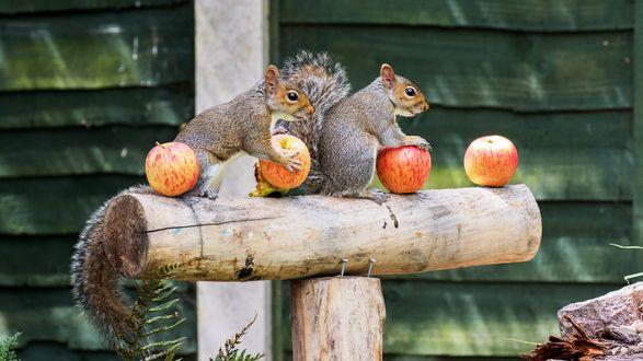 Обои Две белки с яблоками на бревне