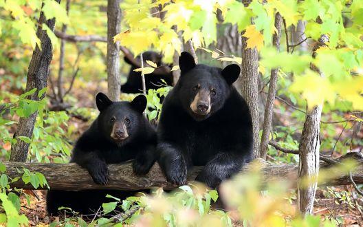 Обои Два черных медведя сидят, опираясь на бревно в лесу, сзади виднеется еще один медведь