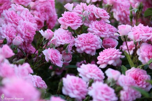 Обои Кусты розовых роз