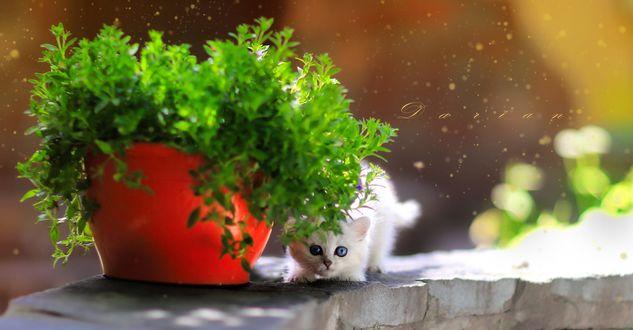 Обои Белый котенок притаился у горшка с зеленым растением, фотограф Darian
