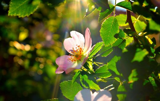 Обои Розовый цветок яблони в лучах солнца