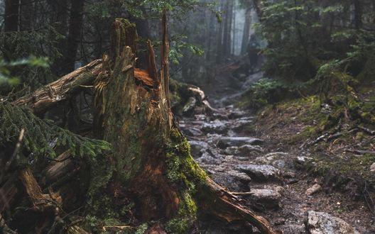 Обои Узкая тропинка в пасмурном туманном лесу, покрытая корнями деревьев и камнями, по ней удаляется турист, на переднем плане сломанное дерево