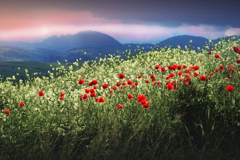 Обои Поле маков и белых цветов на фоне гор, by munteanu adrian