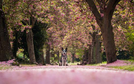 Обои Австралийская пастушья собака сидит на дороге под цветущими деревьями сакуры