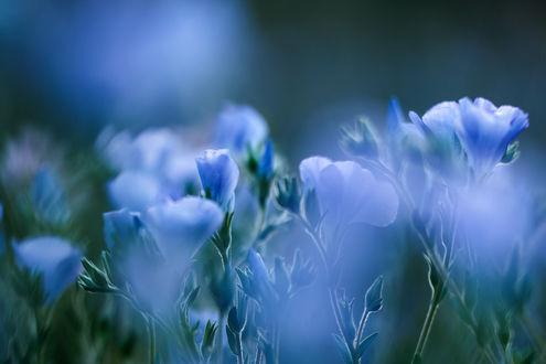 Обои Голубые цветы на размытом фоне