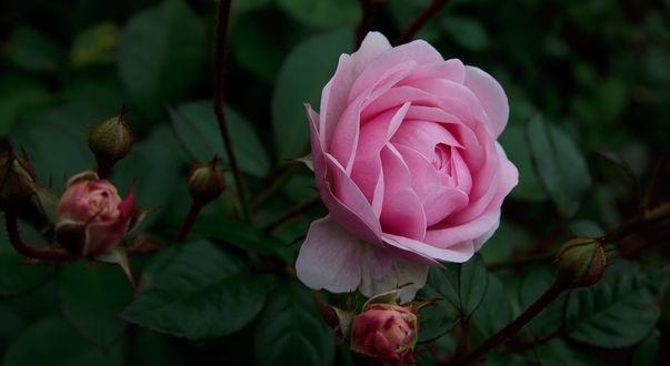 Обои Розовая роза с бутонами, фотограф Jerry Bain