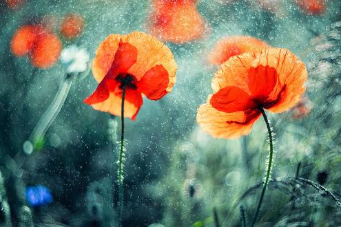 Обои Красные маки под мелким дождем. Фотограф Radoslaw Dranikowski