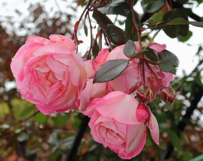 Обои Розовые розы на кусте, фотограф Жанна Бужан