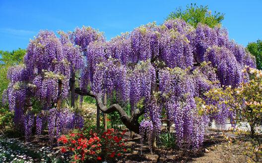 Обои Лиловые заросли цветущей глицинии на фоне голубого неба