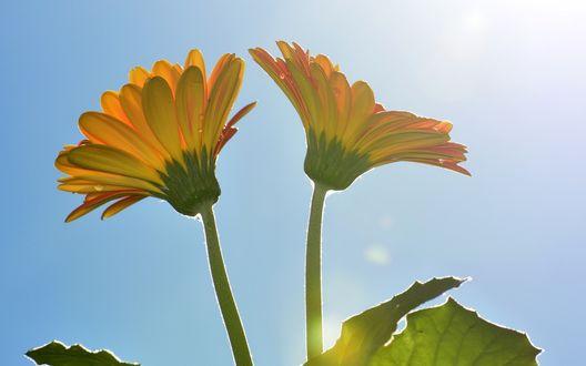 Обои Желтые герберы на фоне голубого неба освещенные ярким солнцем