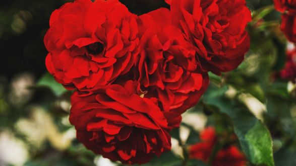 Обои Красные розы, ву Wil Stewart