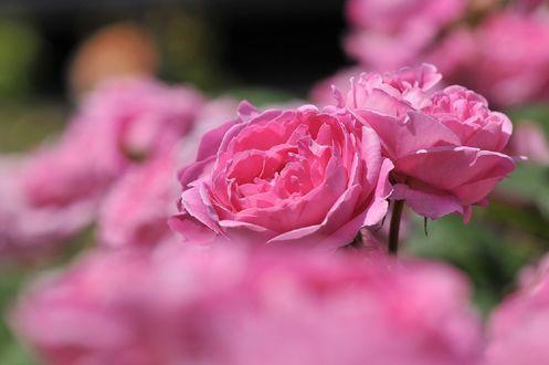 Обои Розовые розы, by naruo0720
